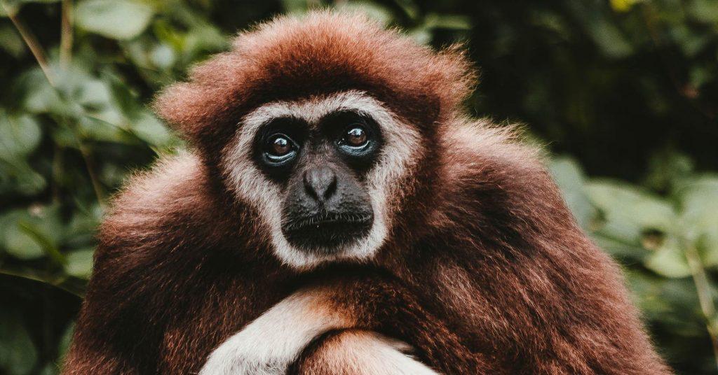 Gibbon, Phuket, Thailand