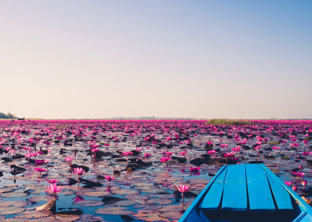 Red lotus sea, Udon Thani, Thailand